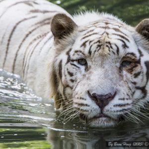 Bengal Tiger, Sunderban