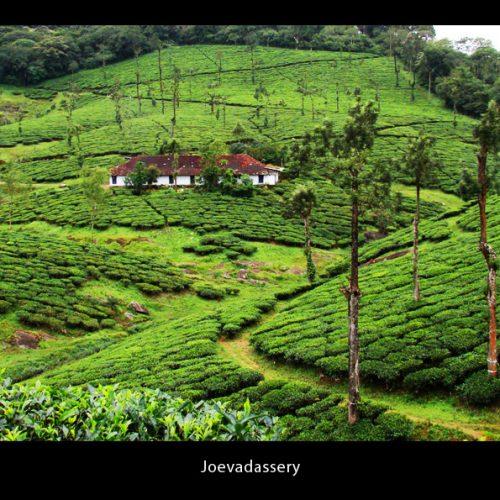 Tea Plantation, Kerala